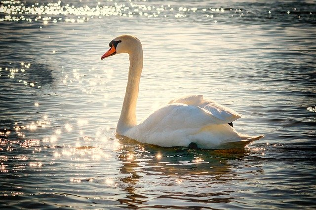 Swaninsliverreflection