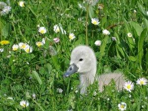swanling