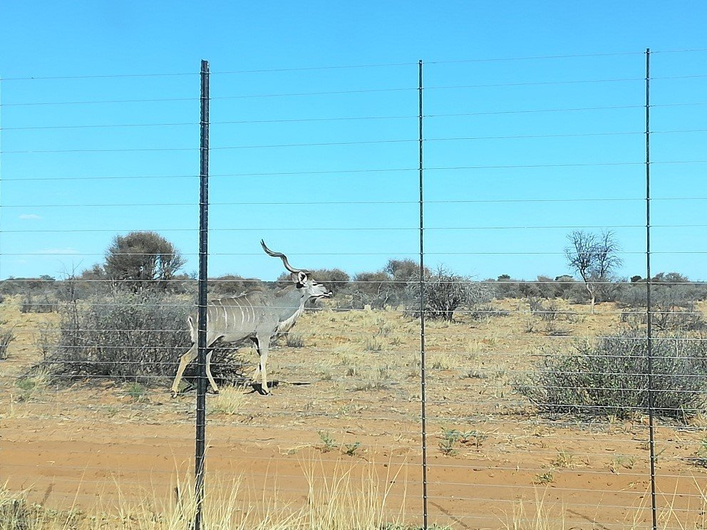 Kudu looking for water